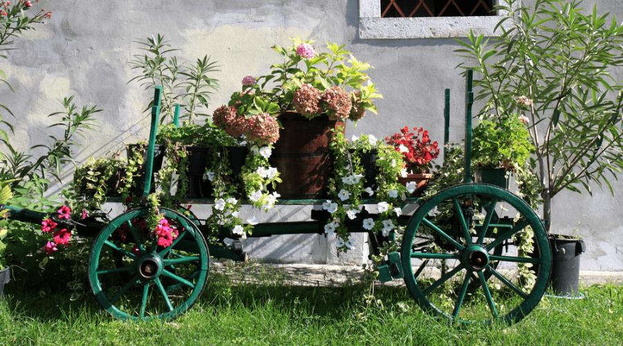 Dekorativ skottkärraplanter