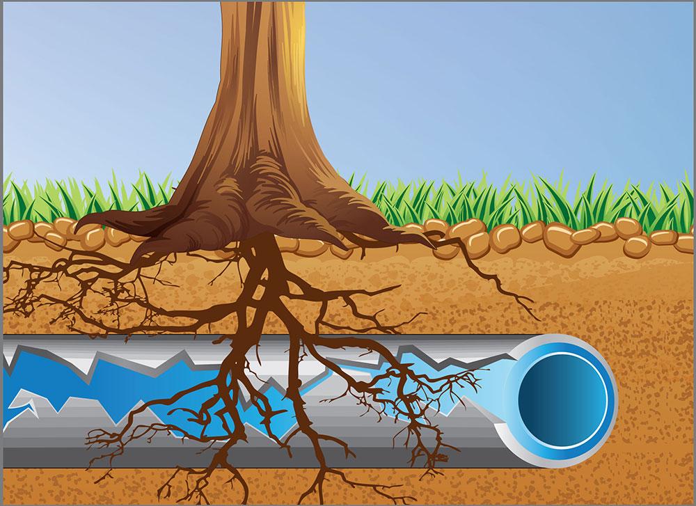 Trädrötter-halv-små Så här undviker du stora problem med avloppsröret